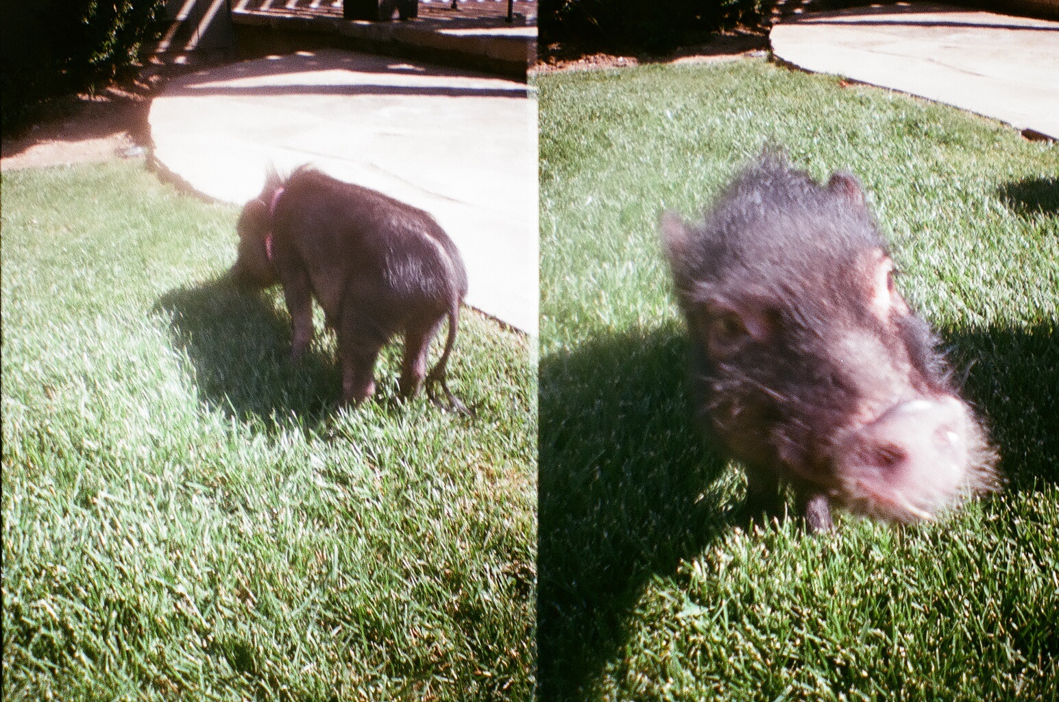 pet pig pig and the city