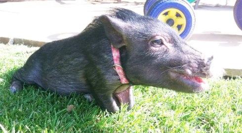"""""""Mini Pig Tantrum"""""""