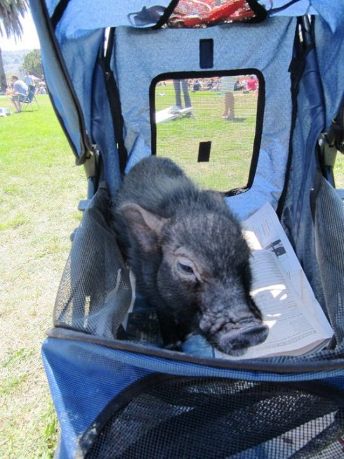 """mini pig vacation"""