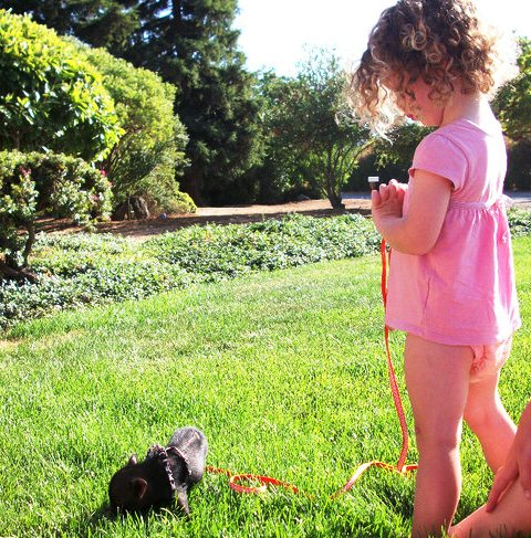 """Mini pig and toddler on grass"""