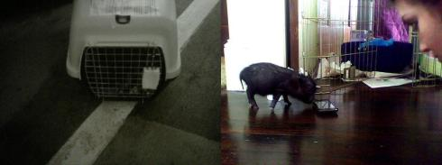 """mini pig 6 weeks"""