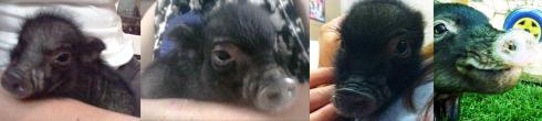 """""""mini pig snout pout"""""""